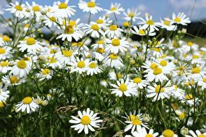 Фотография Ромашка Много Крупным планом Цветы