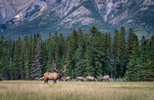 Обои Канада Парк Леса Горы Олени Банф Ели Природа Животные