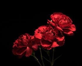 Фотография Гвоздики Крупным планом Черный фон Втроем Красных Цветы