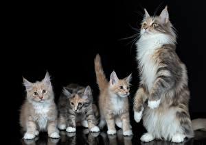 Фотография Коты Мейн-кун Котенка Черный фон Четыре 4