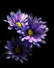 Картинки Хризантемы Крупным планом Черный фон Фиолетовая Три