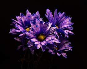 Картинка Хризантемы Крупным планом На черном фоне Фиолетовых Цветы