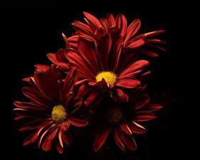 Фото Хризантемы Вблизи На черном фоне Бордовая цветок