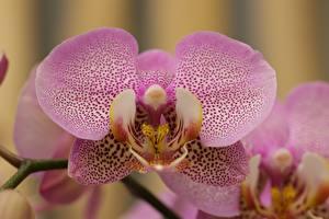 Картинки Вблизи Орхидея цветок