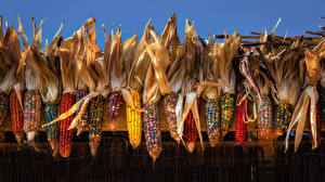 Фото Кукуруза Разноцветные Продукты питания