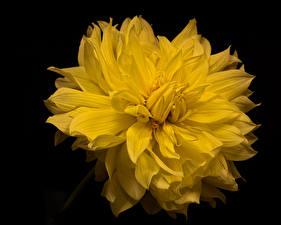 Картинка Георгины Вблизи На черном фоне Желтая цветок