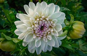 Фотографии Георгины Вблизи Белая цветок