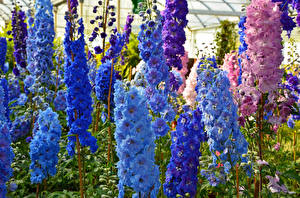 Фото Дельфиниум Крупным планом Синих Цветы