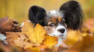 Фотография Собака Осенние Смотрит Континентальный той-спаниель Листва животное