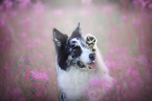 Обои Собаки Бордер-колли Милые