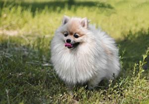 Фотографии Собака Шпицев Пушистый Языком German Spitz животное