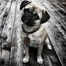 Обои для рабочего стола Собаки Доски Мопс Черно белые Взгляд Сидящие животное