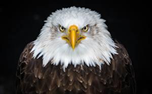 Фотографии Орлы Птицы Белоголовый орлан На черном фоне