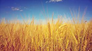 Фотографии Поля Колосья Barley