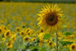 Картинка Поля Подсолнечник Желтых Природа
