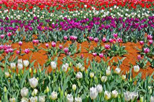 Фотография Поля Тюльпаны Много Разноцветные Цветы