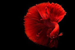Картинка Рыбы Крупным планом Черный фон Красные Siamese fighting fish
