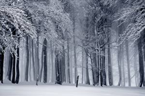 Фотография Лес Зимние Дерево Снега Тумане Природа