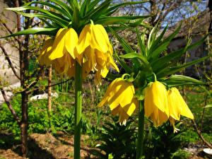 Фотографии Рябчик Вблизи Желтых цветок
