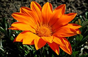 Фотография Газания Вблизи Оранжевых цветок