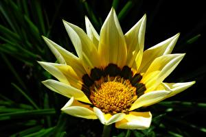 Фотография Газания Крупным планом Желтая цветок