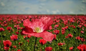 Обои для рабочего стола Луга Маки Много Красные Размытый фон цветок