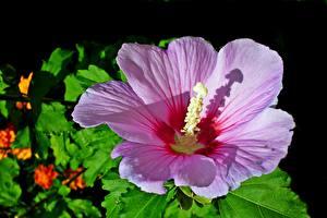 Картинка Гибискусы Крупным планом Розовых цветок