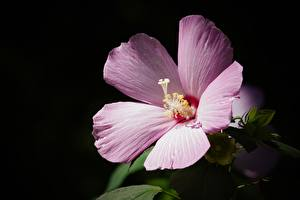 Фотография Гибискусы Крупным планом Розовый