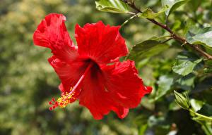 Обои Гибискусы Крупным планом Красных Цветы