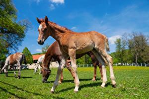 Картинки Лошади Детеныши Трава Загон животное
