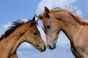 Картинки Лошадь 2 Морды Головы животное
