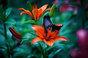 Обои Лилии Бабочки Оранжевый Цветы