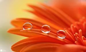 Обои для рабочего стола Макросъёмка Вблизи Гербера Оранжевых Капельки Лепестки Цветы