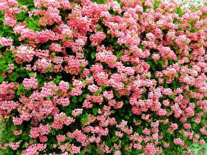 Картинка Много Розовых Geraniums Pelargonium Цветы