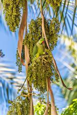 Обои для рабочего стола Оливки Птицы Попугаи Ветки животное