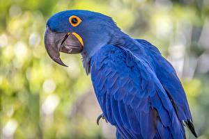 Картинка Попугаи Птица Ара (род) Синий Hyacinth macaw животное