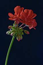 Обои Черный фон Красные Бутон Pelargonium цветок