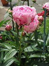 Обои для рабочего стола Пионы Крупным планом Розовые Бутон цветок