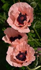 Картинка Маки Крупным планом Втроем Розовые Цветы