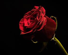 Картинка Розы Вблизи На черном фоне Бордовый цветок
