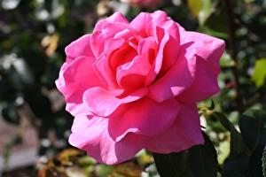 Фотография Роза Вблизи Розовая цветок