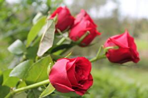 Фото Розы Крупным планом Красных цветок