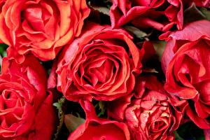 Обои Розы Крупным планом Красная