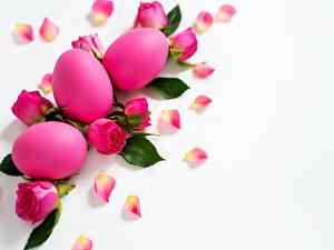 Фото Розы Пасха Белым фоном Розовый Цветы