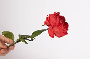 Обои Розы Пальцы Белым фоном Красная