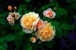 Фотографии Роза Кусты Цветы