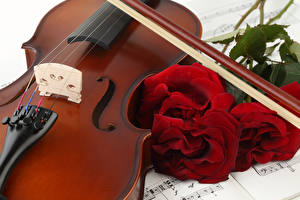 Фото Роза Скрипки Бордовый цветок