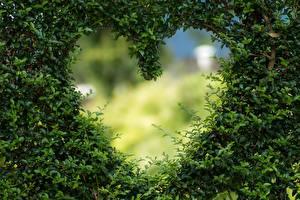 Фотография Кустов Серце Шаблон поздравительной открытки Природа