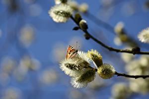 Картинка Весенние Бабочки На ветке