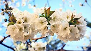 Картинки Весенние Цветущие деревья Ветки Сакура Природа